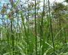 Manfaat Rumput Teki Untuk Kesehatan Yang Sangat Mujarab